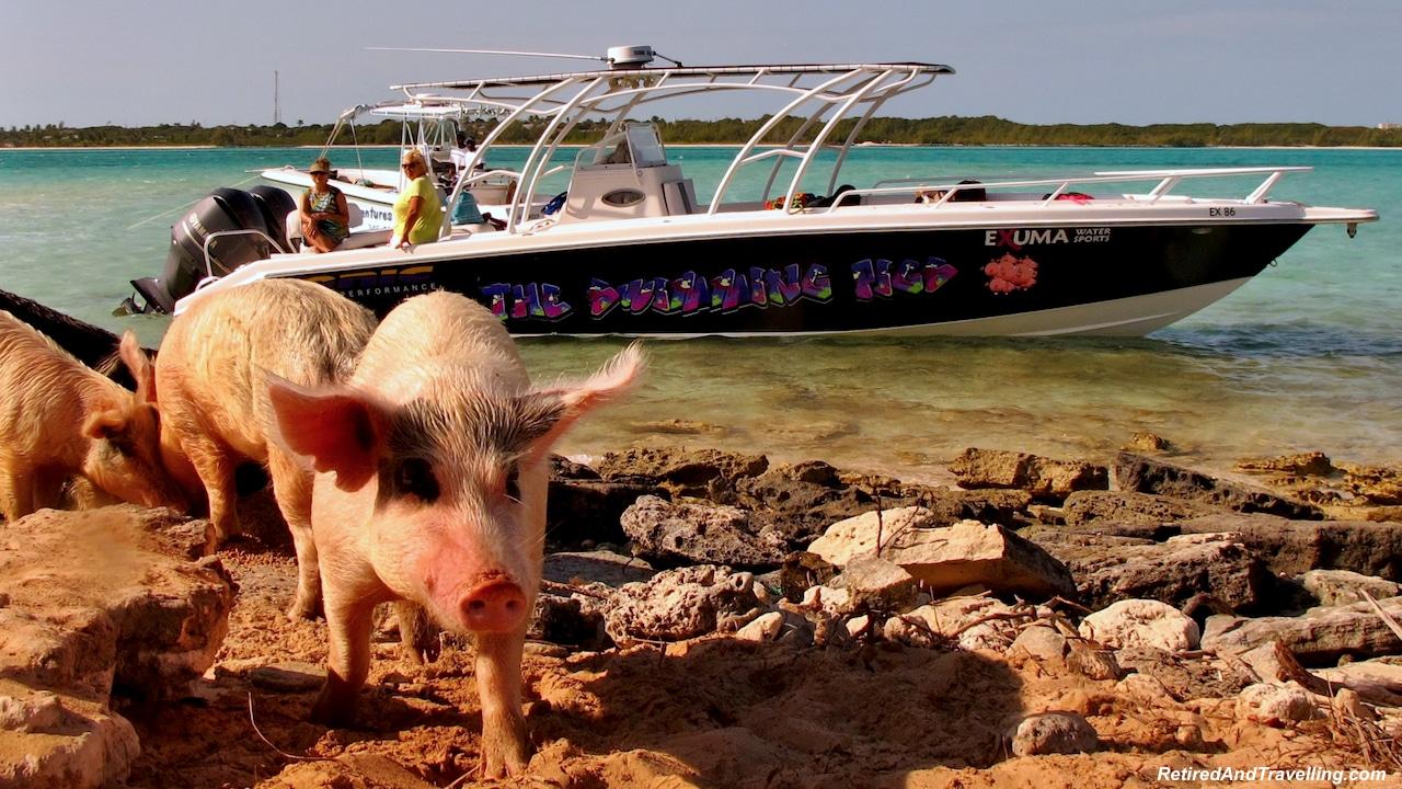 Pigs - Exuma swim with pigs.jpg