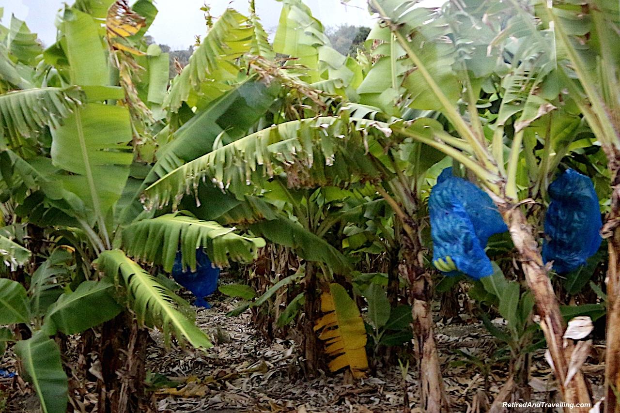 Barbados Bananas - Barbados Quick Glimpse.jpg