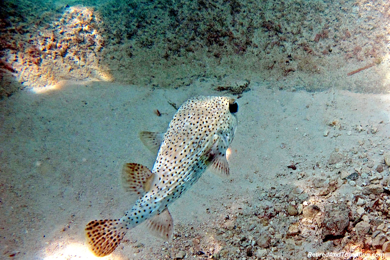 Puffer Fish on Cable Beach - Snorkel With Turtles.jpg