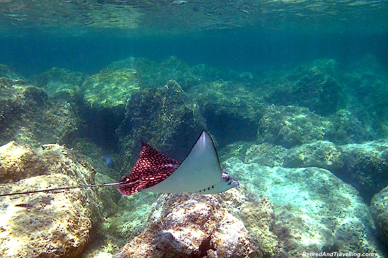 Spotted Eagle Rays - Snorkel With Turtles.jpg