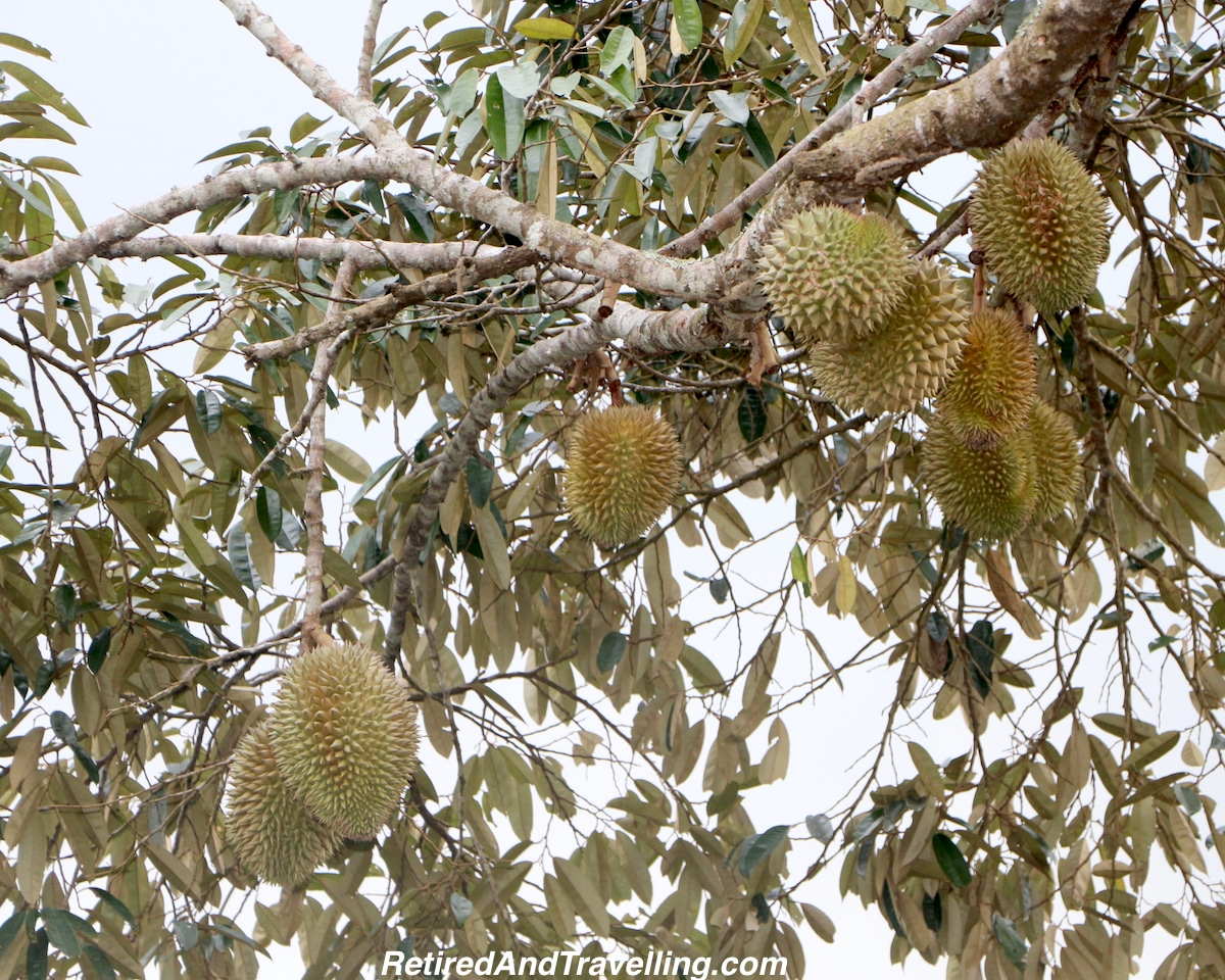 Durian Fruit in a tree - Ubud Treasures.jpg