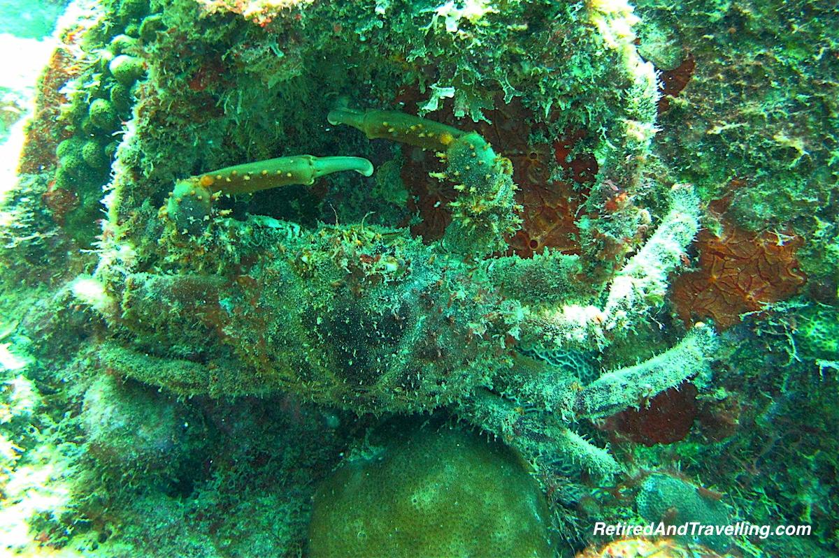 Furry Crab - Scuba Diving In St Lucia.jpg