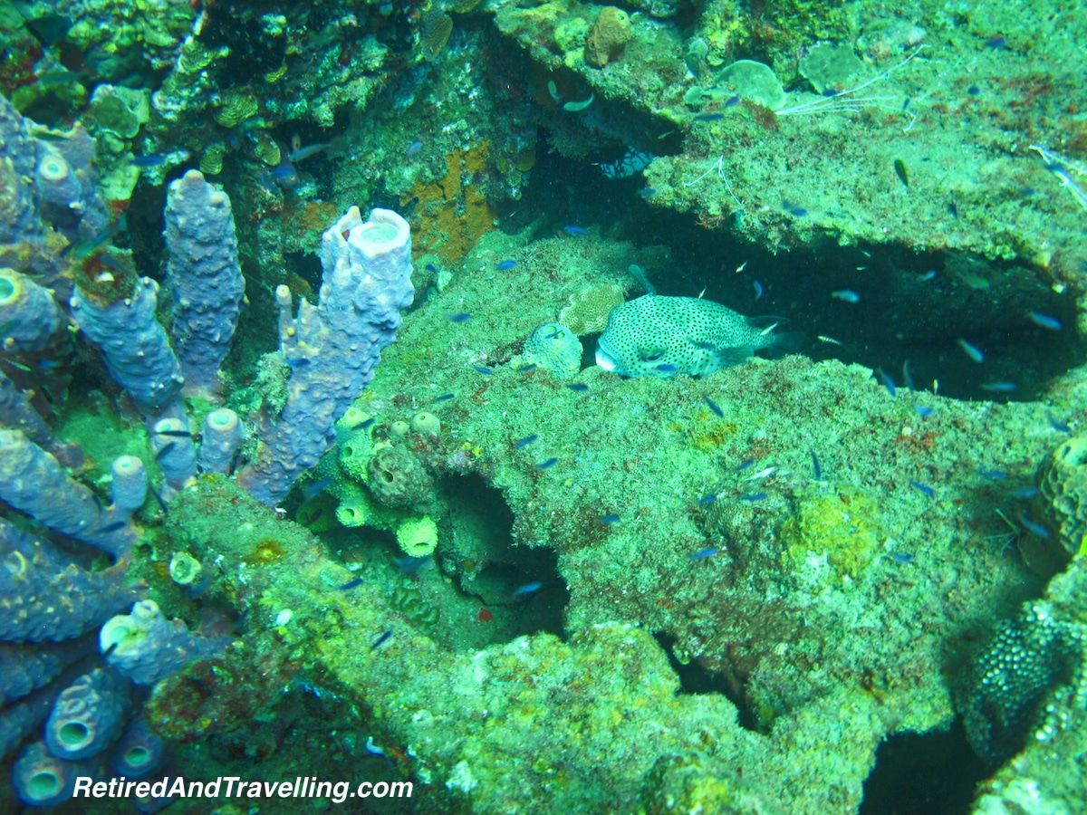 Puffer Fish - Scuba Diving In St Lucia.jpg