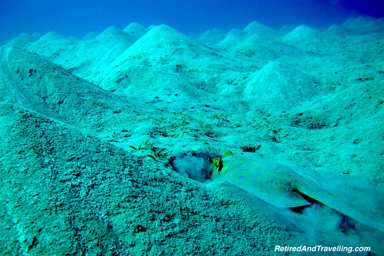 Blue Spotted Ray -Scuba Diving the Red Sea.jpg
