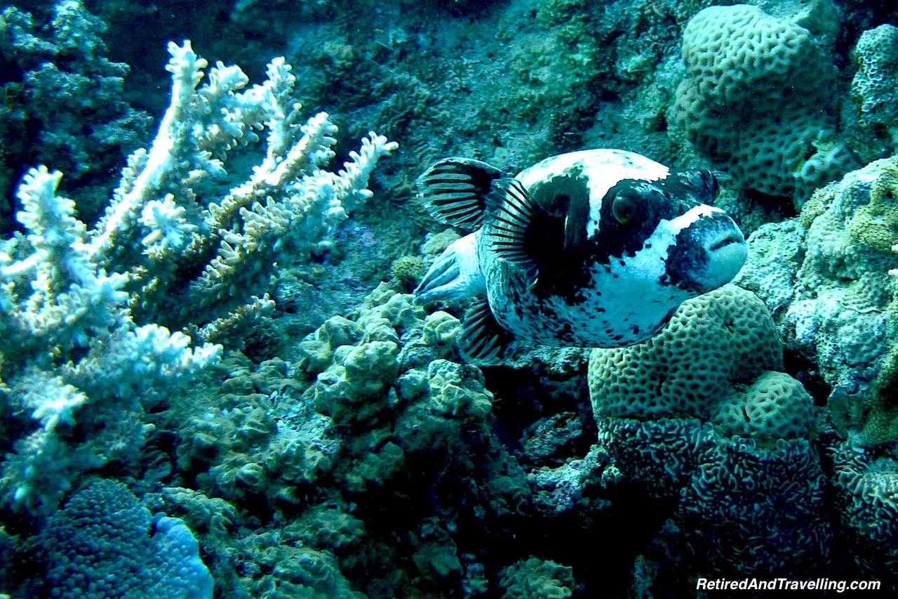 Puffer Fish -Scuba Diving the Red Sea.jpg