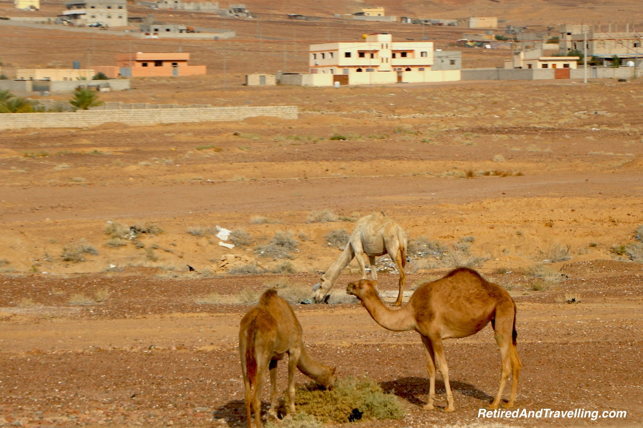 Camels Jordon - Travel Through Jordon.jpg