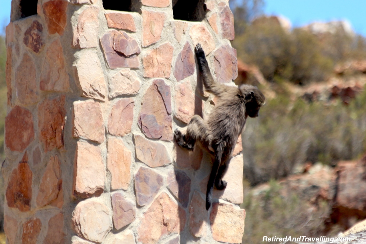Baboon - Game Drive From Cape Town.jpg