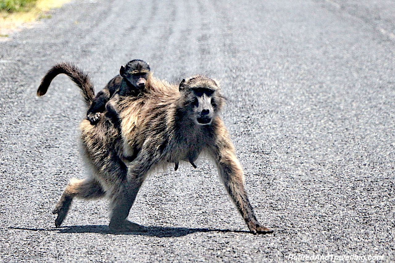 Baboons at Cape of Good Hope - Tour the Cape In South Africa.jpg