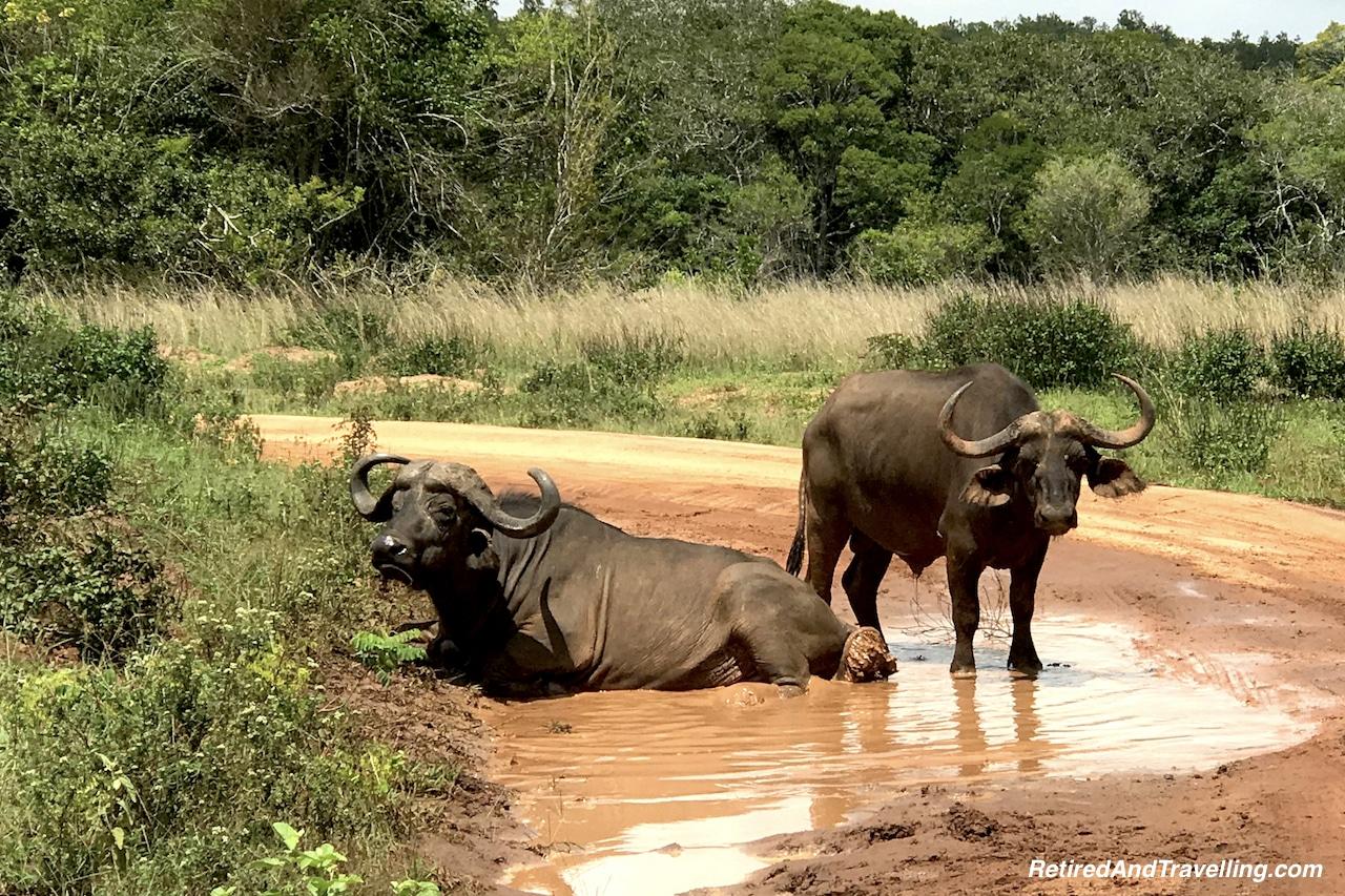 Cape Buffalo Kenya - Travel Around The World in 2016.jpg