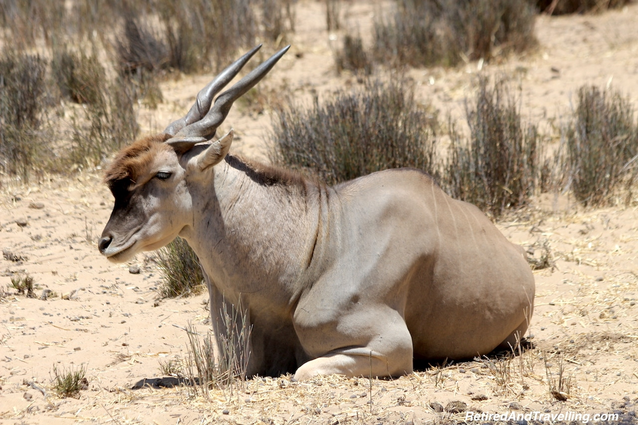 African Eland - Game Drive From Cape Town.jpg