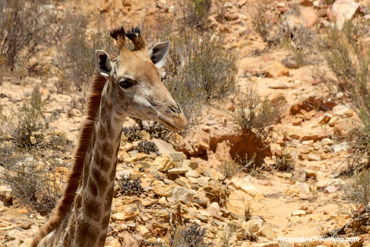 African Giraffe - Game Drive From Cape Town.jpg