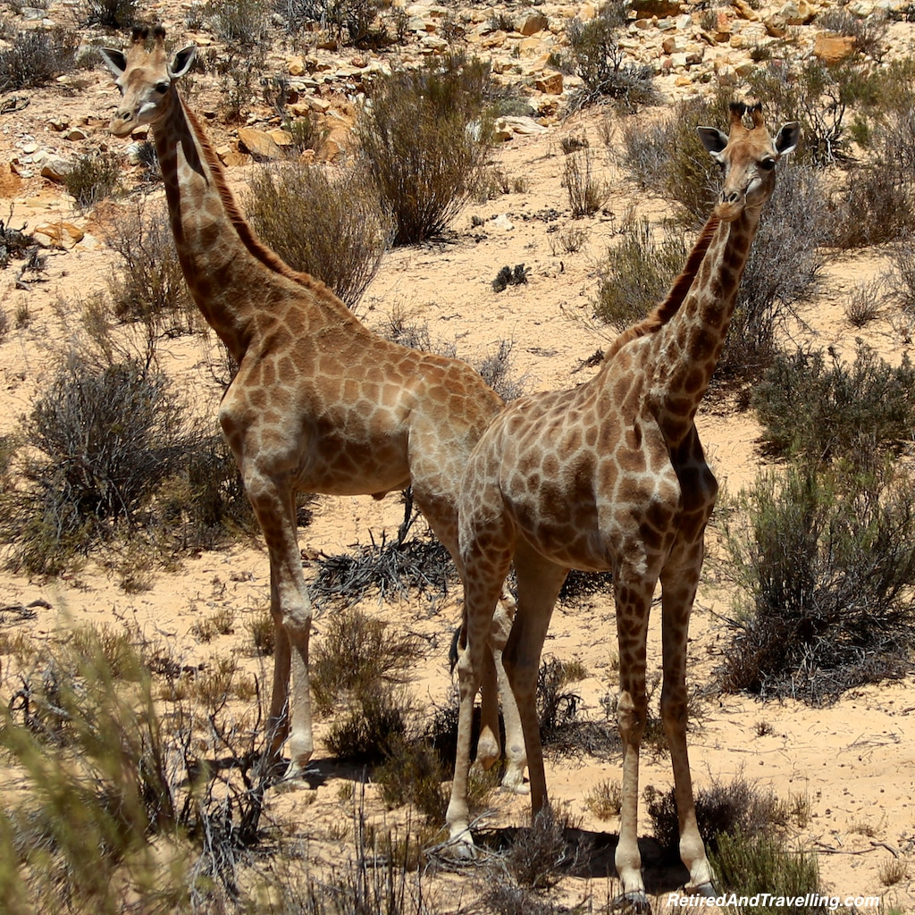 African Giraffe - Game Drive From Cape Town.jpg