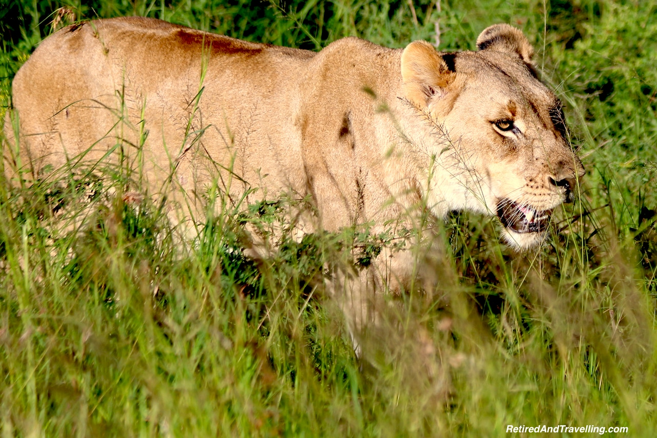 African Lion - Game Drive From Cape Town.jpg