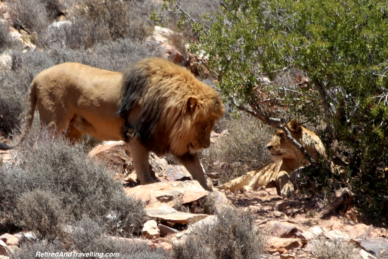 African Lions Aquila South Africa - Travel Around The World in 2016.jpg