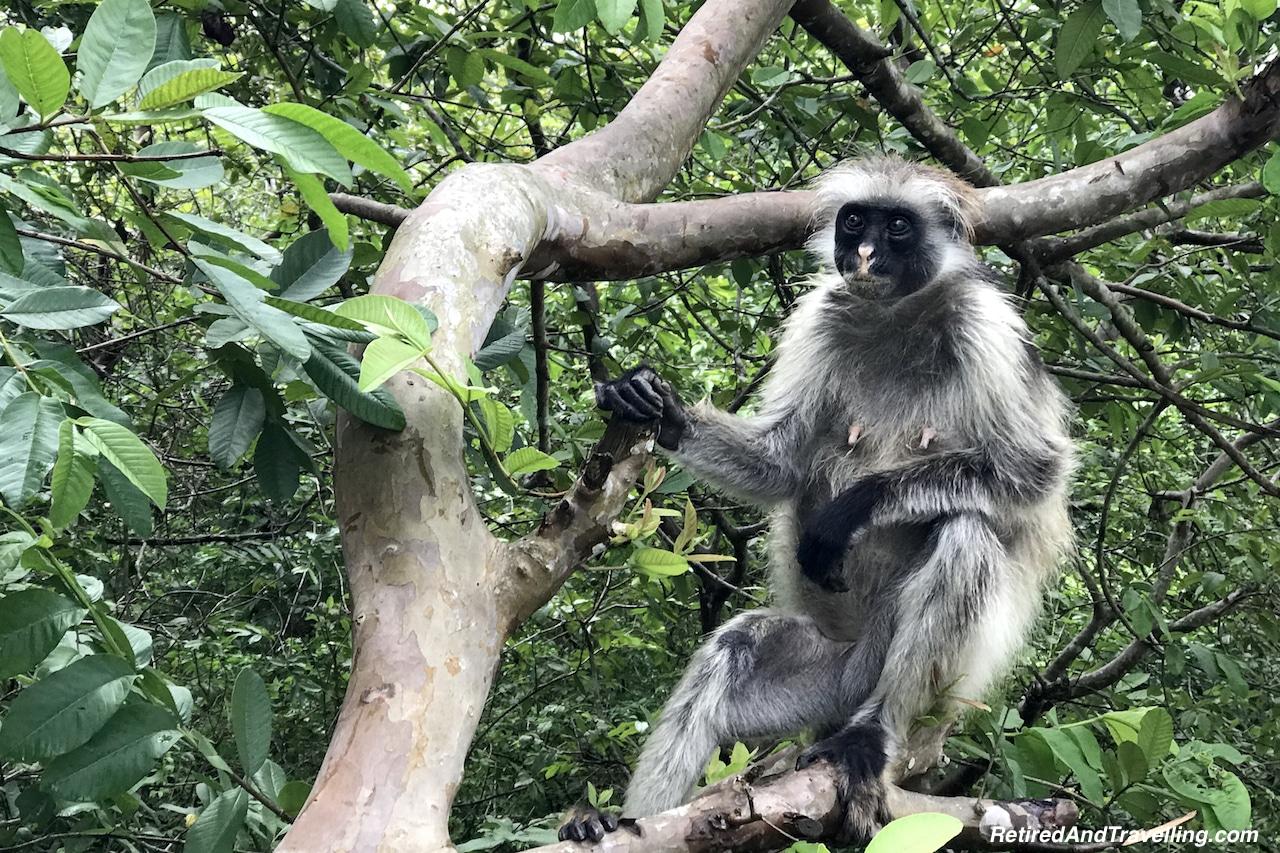 Red Colobus Monkeys Zanzibar Tanzania - Travel Around The World in 2016.jpg