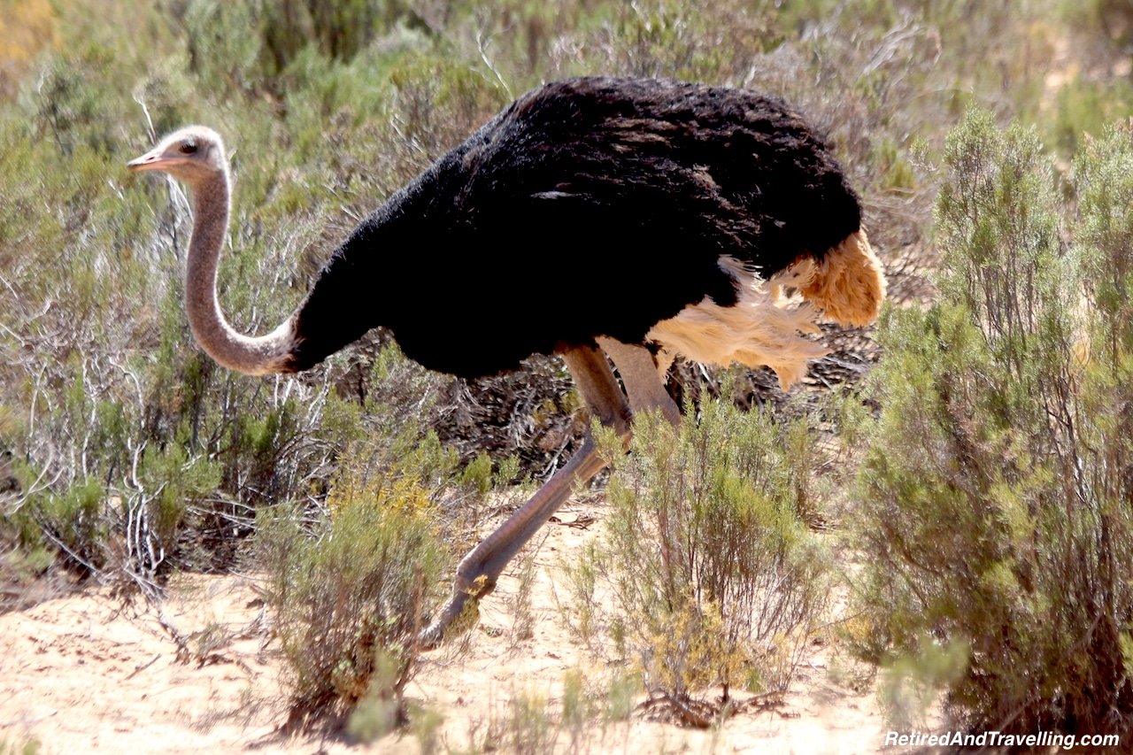 African Ostriche - Game Drive From Cape Town.jpg