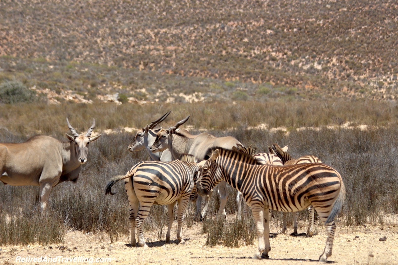 African Zebra and Eland - Game Drive From Cape Town.jpg