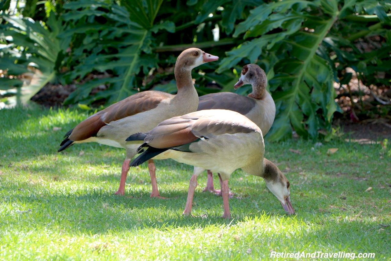 Egyptian Geese in Company's Garden - Quick Tour of Cape Town.jpg