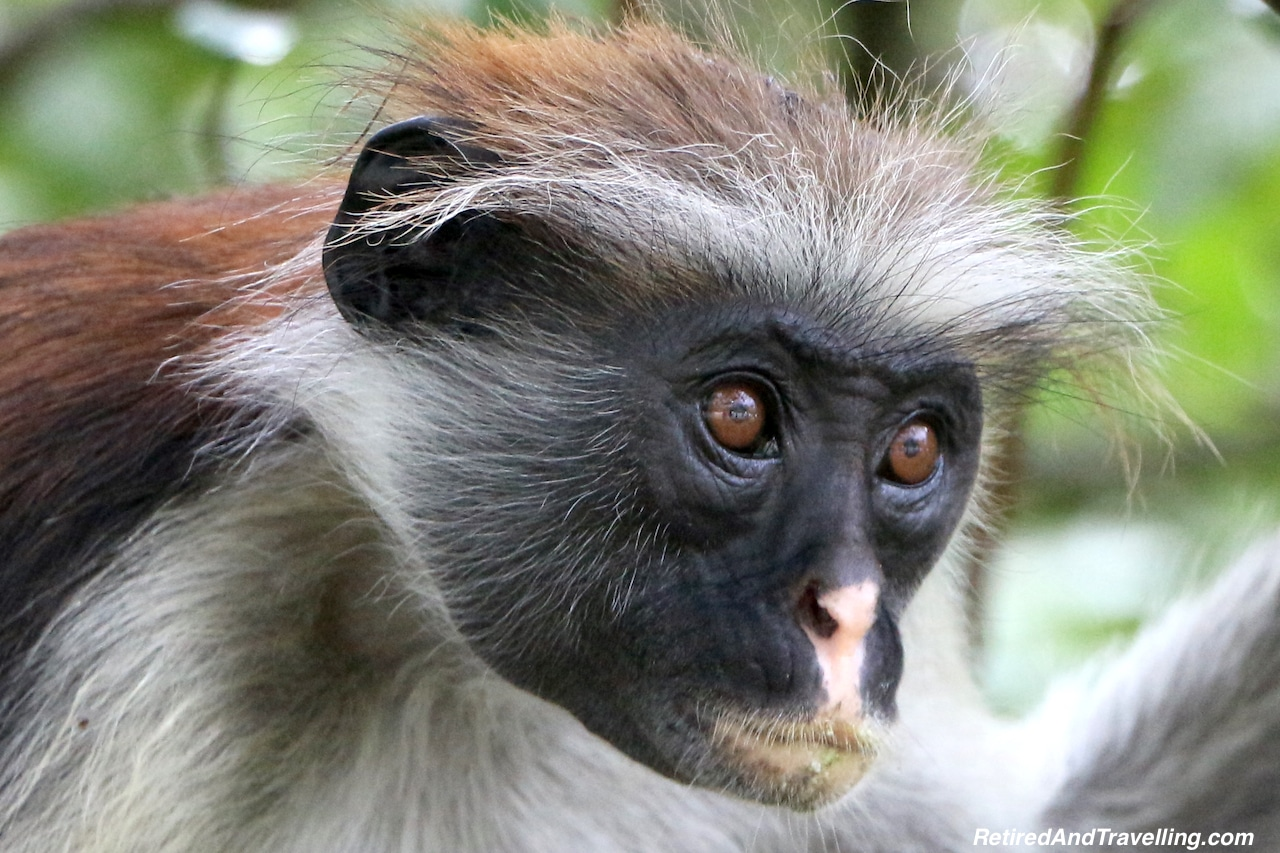 Jozani Forest Colobus Monkey - Touring Zanzibar In the Rain.jpg