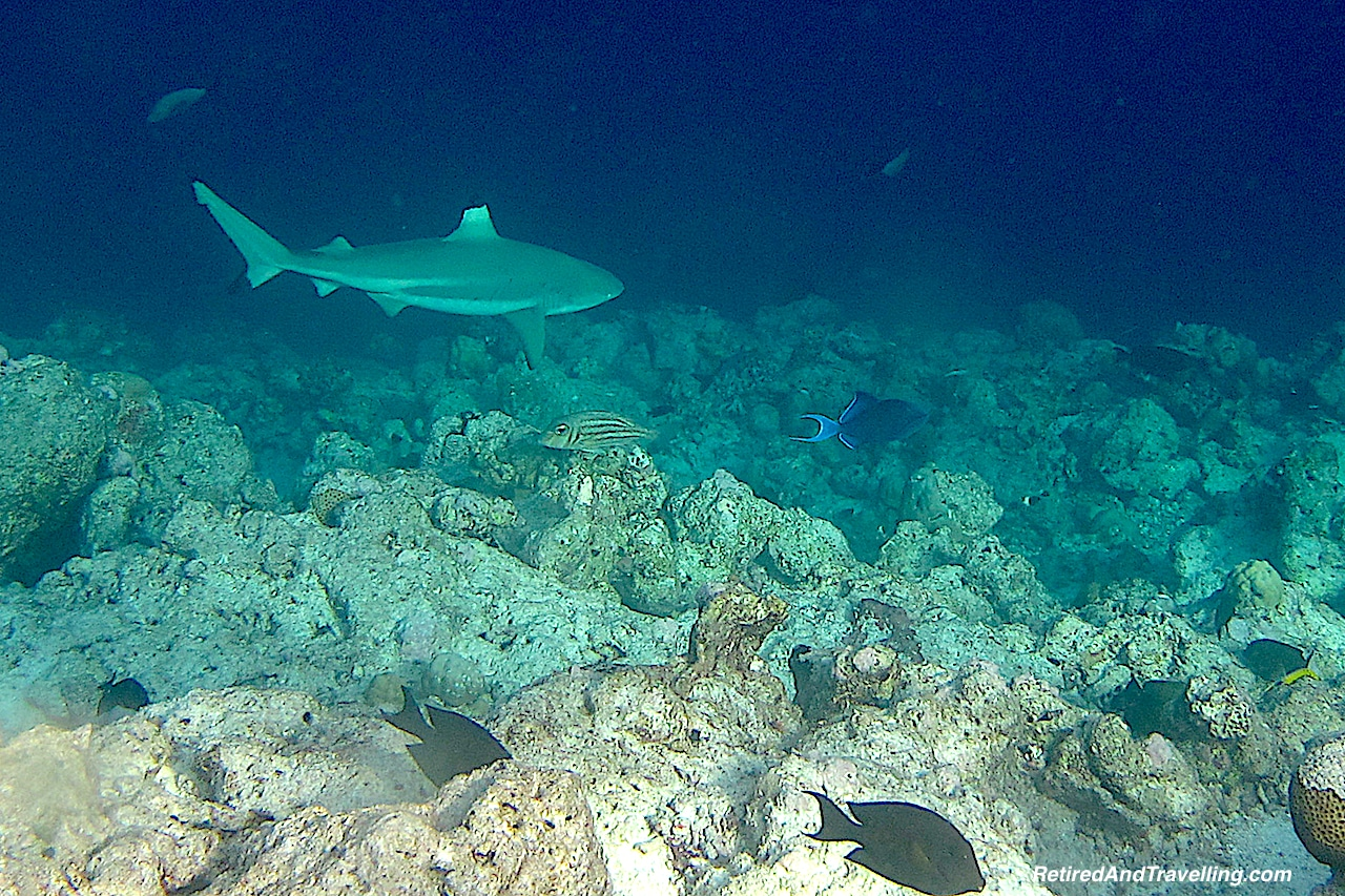 Black Tipped Reef Shark - Snorkelling in the Maldives.jpg