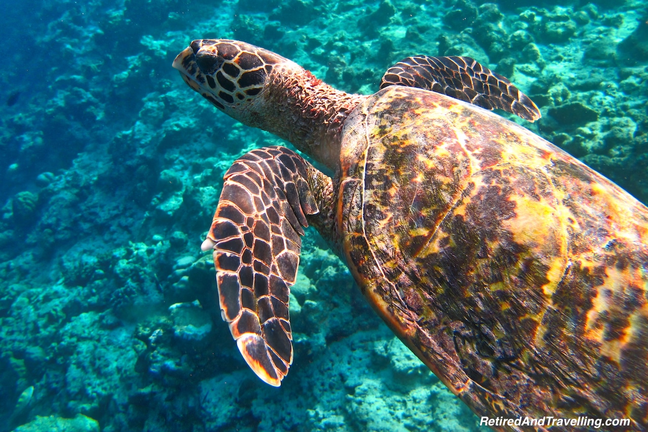 Green Sea Turtle - Snorkelling in the Maldives.jpg