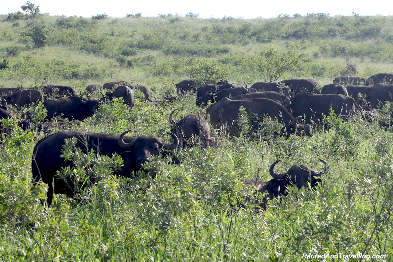 Cape Buffalo - Hluhluwe Game Reserve - Big Five in South Africa.jpg