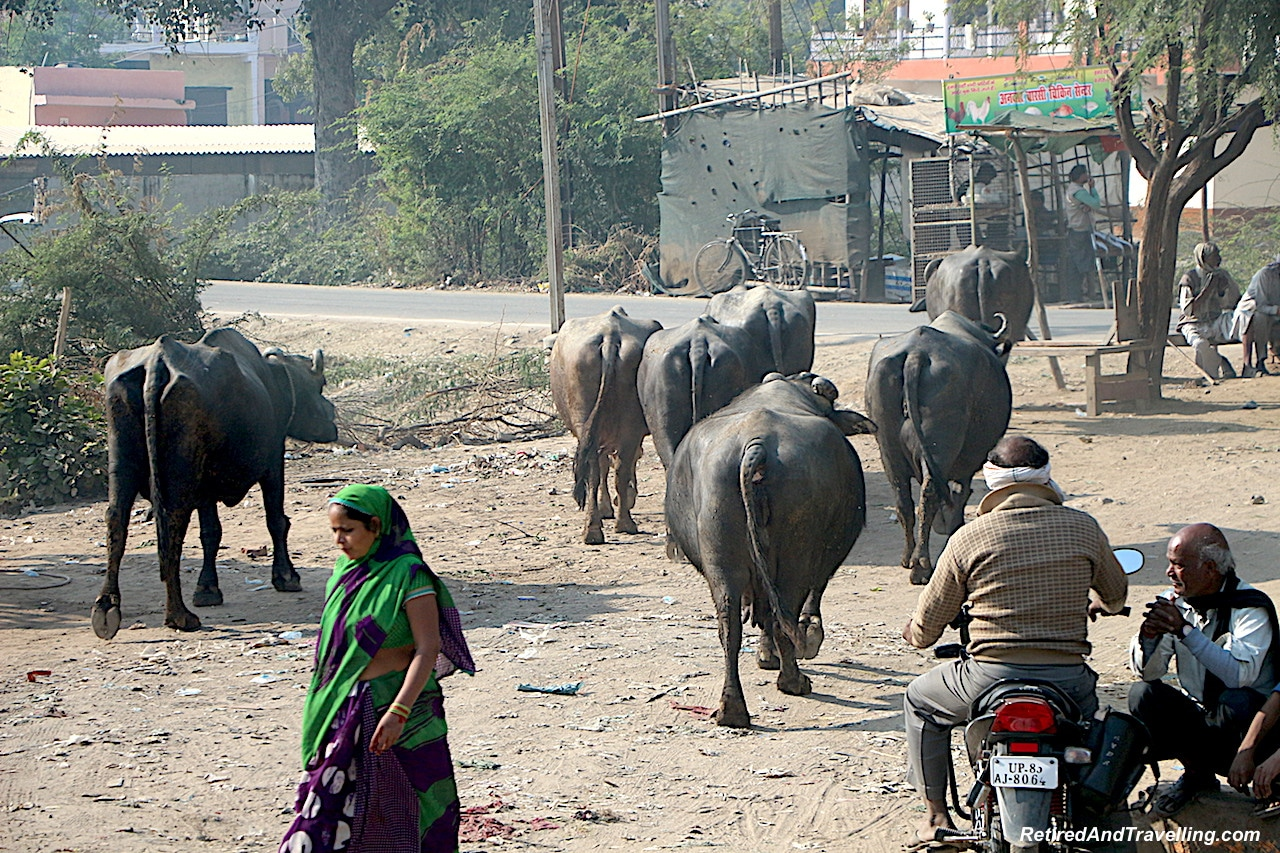Cows Run Free - Images of Agra - Delhi Drive to Explore Agra.jpg