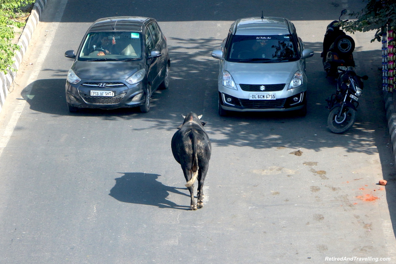 Cows Run Free - Images of Delhi - Delhi Drive to Explore Agra.jpg