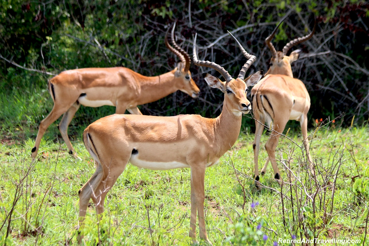 Impala Antelope in Shimba Hills - First Sight of African Animals.jpg