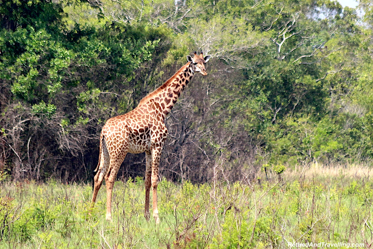 Giraffe in Shimba Hills - First Sight of African Animals.jpg