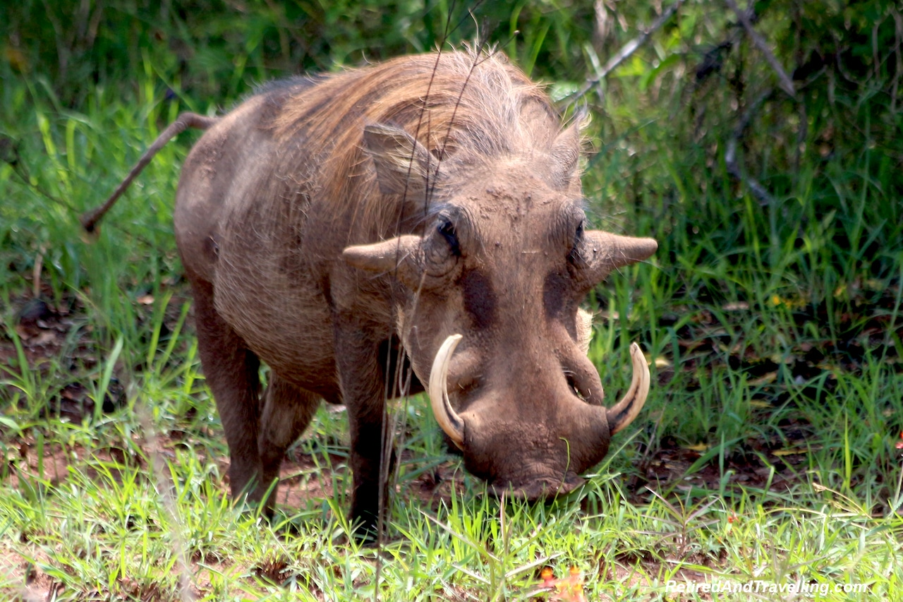 Wart Hogs in Shimba Hills - First Sight of African Animals.jpg