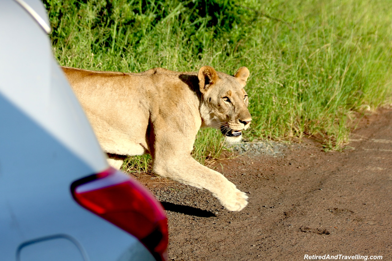 African Lions - Hluhluwe Game Reserve - Big Five in South Africa.jpg