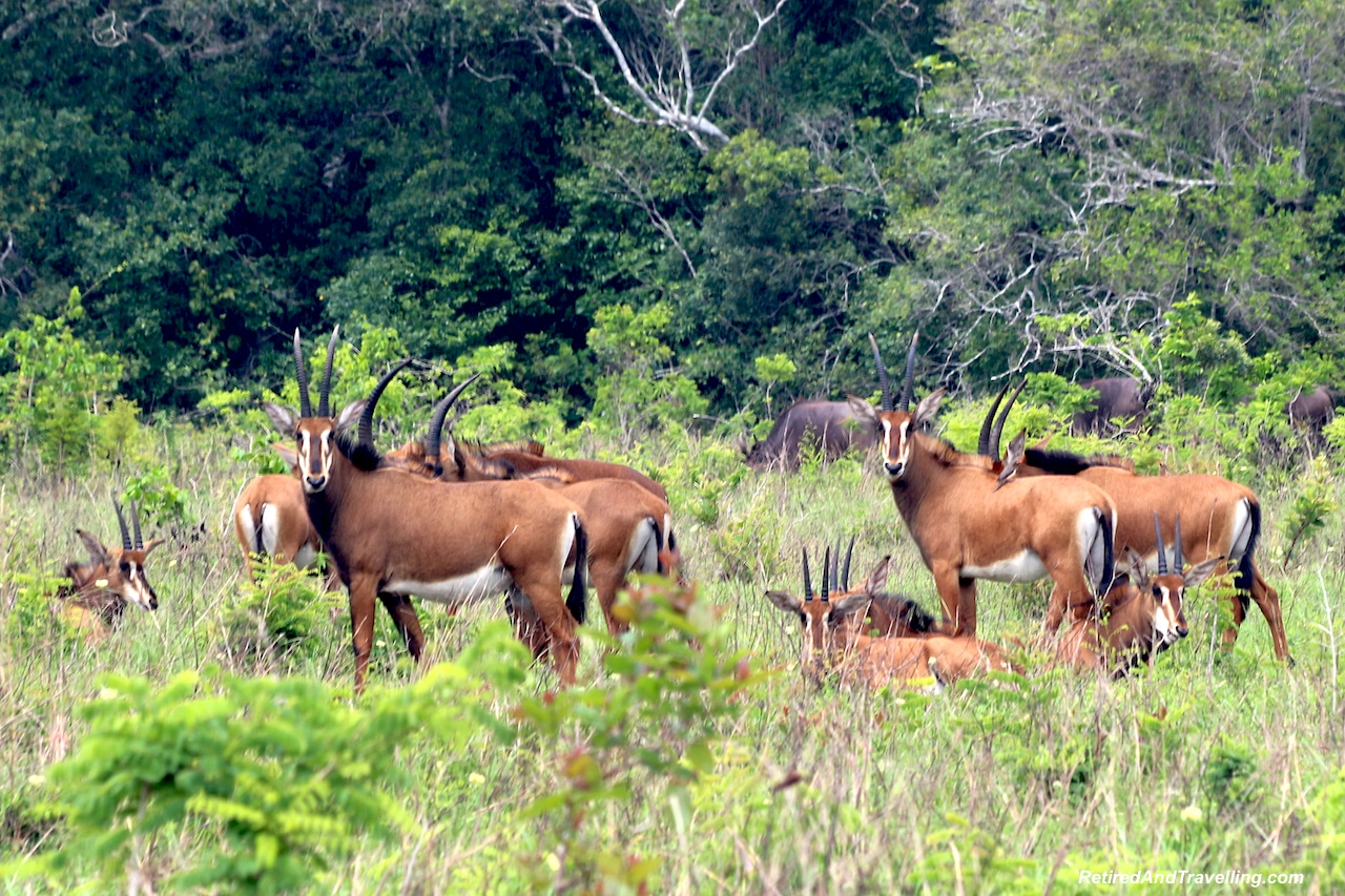 Sable Antelope in Shimba Hills - First Sight of African Animals.jpg
