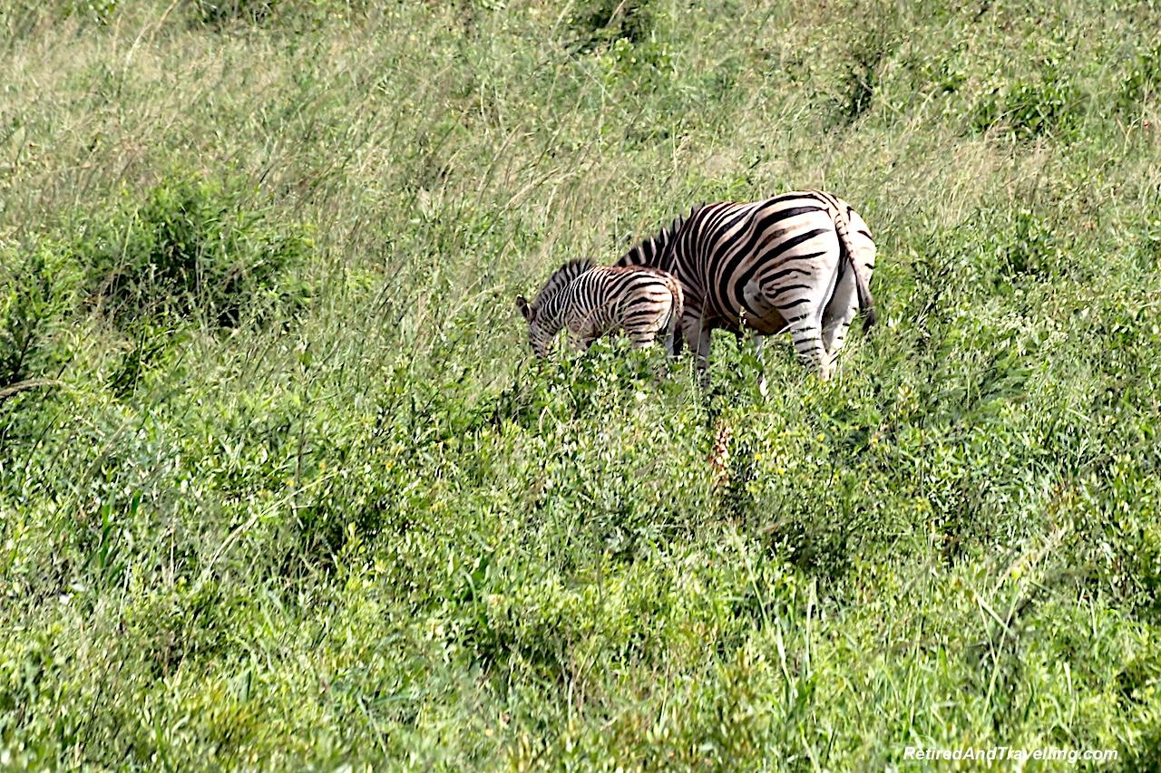 Zebras - Hluhluwe Game Reserve - Big Five in South Africa.jpg