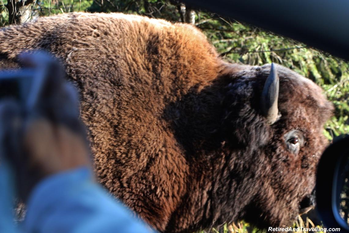 Yellowstone Buffalo - National Parks trip.jpg