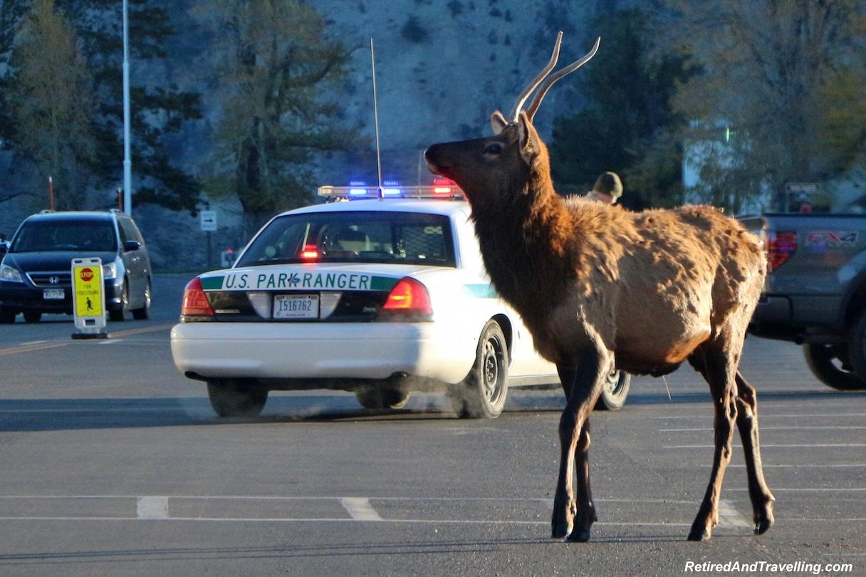 Yellowstone Elk - National Parks trip.jpg