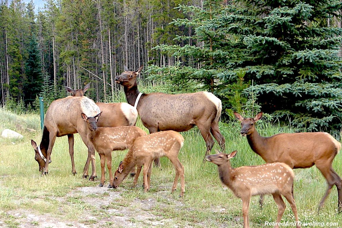 Rockies Elk on Road Banff - National Parks trip.jpg