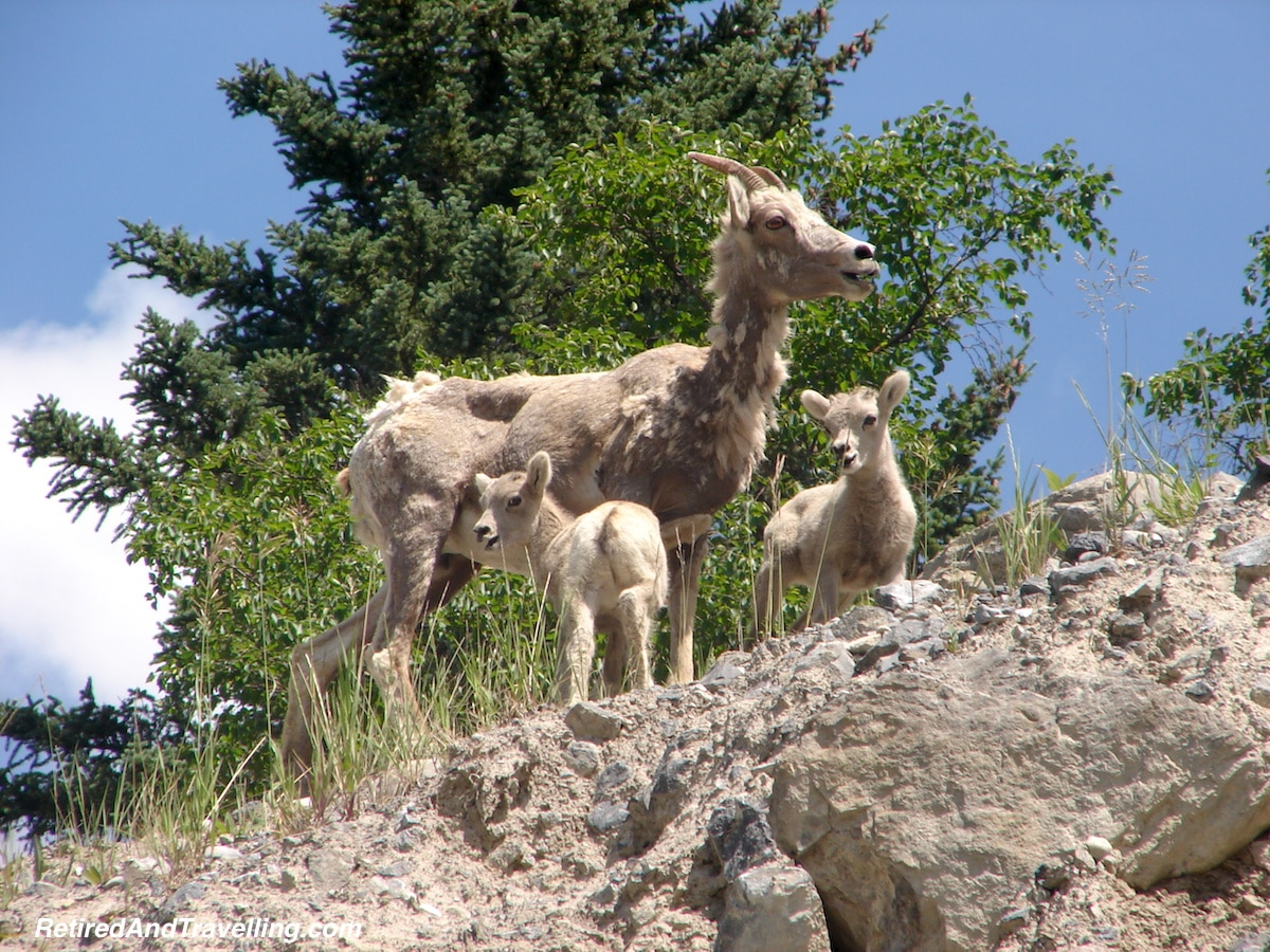 Rockies Baby Goats Banff - National Parks trip.jpg