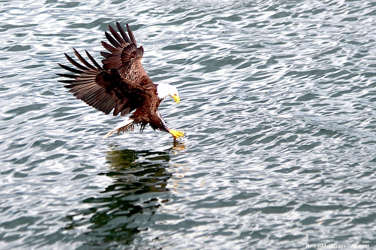 Prince Rupert Metlakatia Passage Eagles - Alaska cruise for grizzly bears.jpg