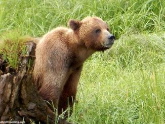 Alaska cruise for grizzly bears.jpg