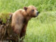 Alaska cruise for grizzly bears.jpg
