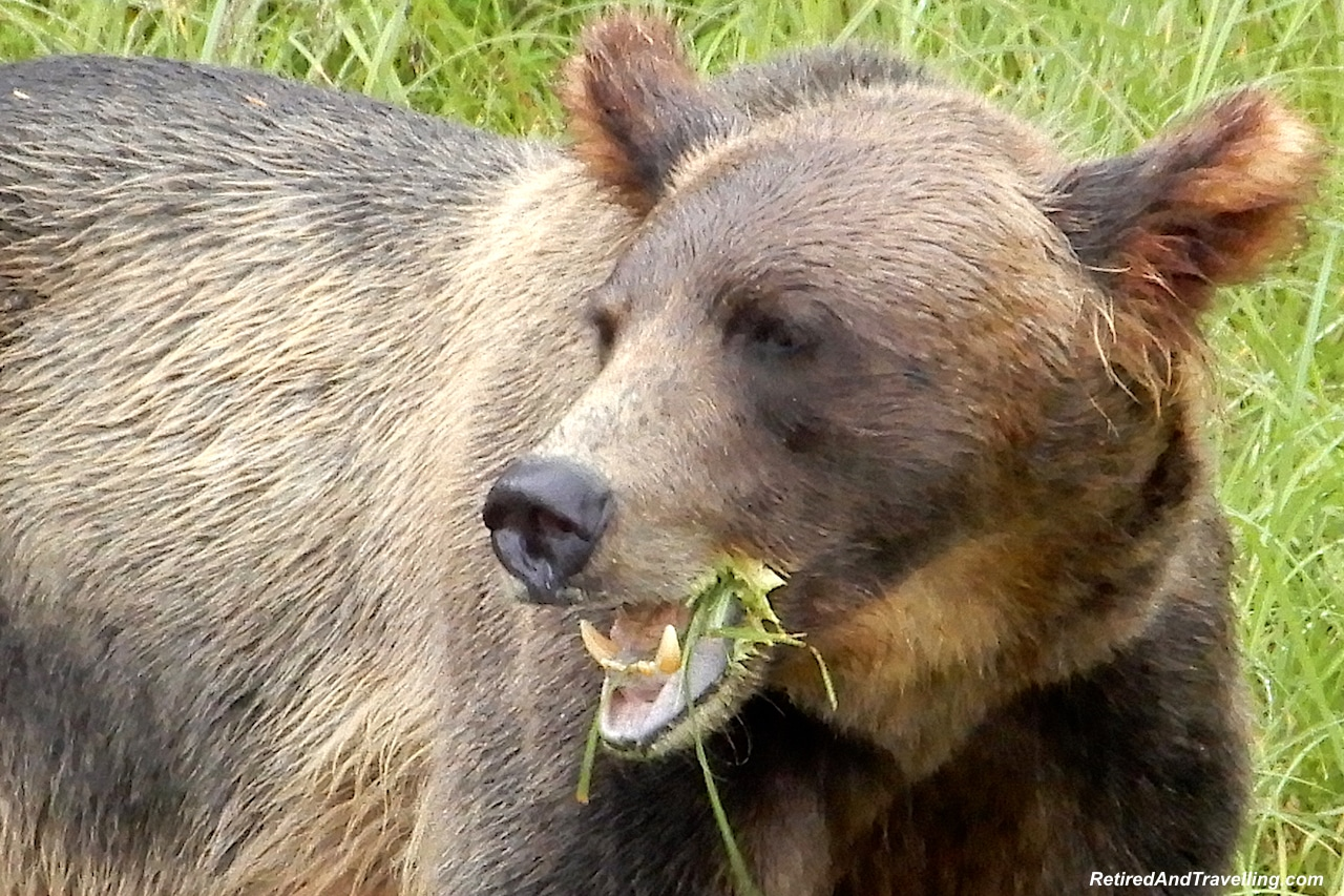 Prince Rupert Khutzeymateen Valley Grizzly Bears - Alaska cruise for grizzly bears.jpg