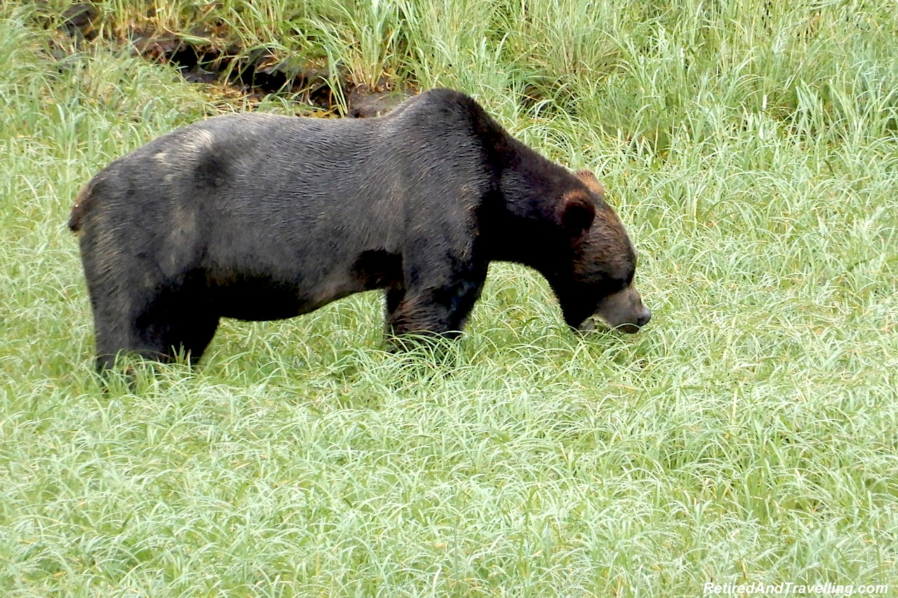 Prince Rupert Khutzeymateen Valley Grizzly Bears - Alaska cruise for grizzly bears.jpg