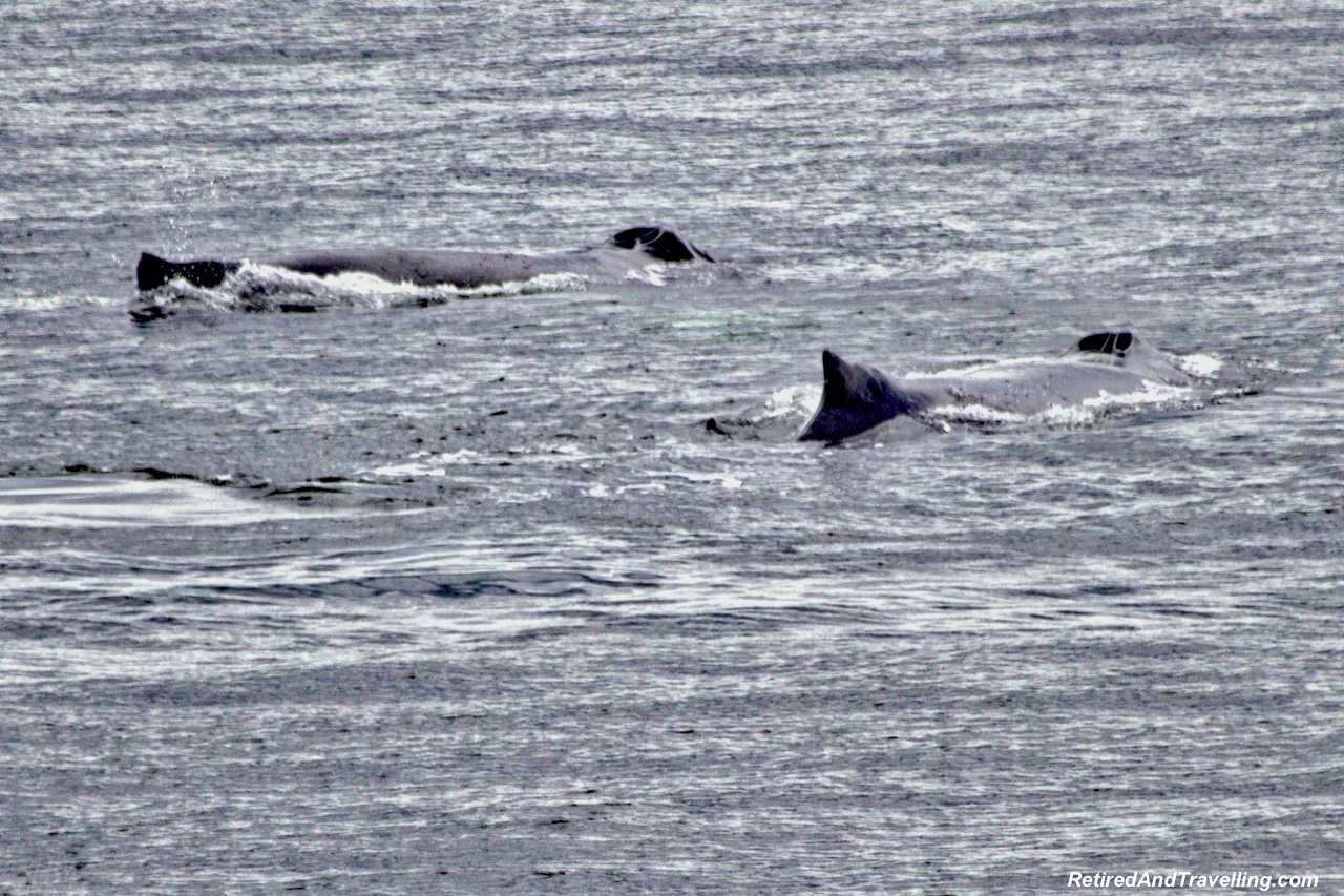 Prince Rupert Humpback Whales - Alaska cruise for grizzly bears.jpg