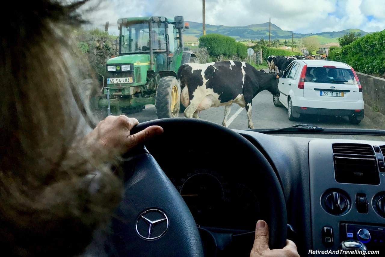 Cow Traffic Jams - Volcanic Setting of Sete Cidades Sao Miguel Azores.jpg