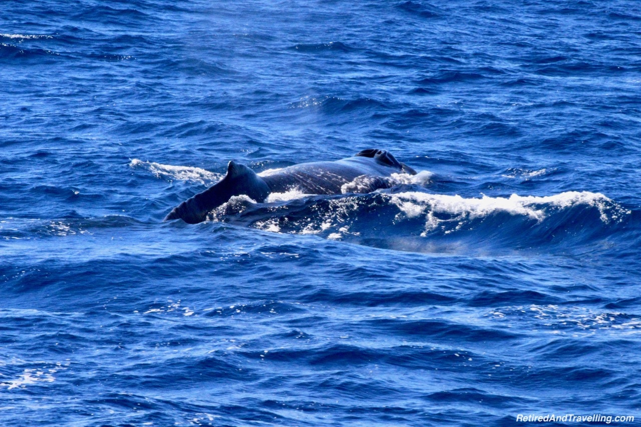 Sao Miguel Humpback Whales - Whale Watching From Sao Miguel.jpg