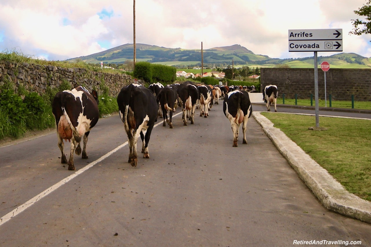Azores Cows Dairy Cheese - 10 Days In the Azores.jpg