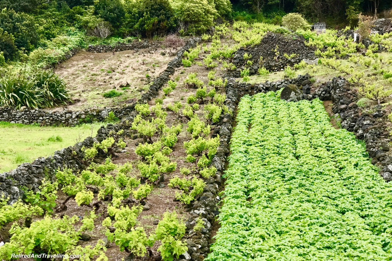 Stone Wall Gardens - Historical Perspective of Pico Island.jpg