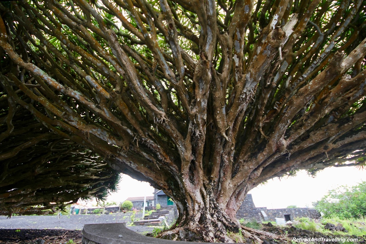 Dragon Tree - Historical Perspective of Pico Island.jpg