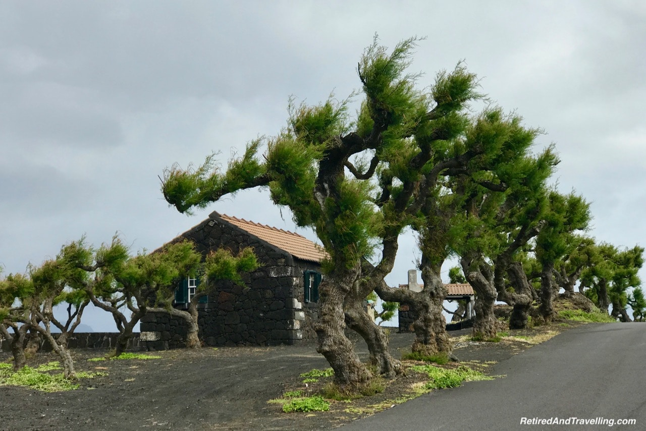 Azores Pico Island Iconic Windblown Trees - Stay on Faial Island Azores.jpg